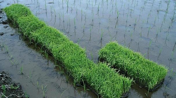모내기 벼농사 자연