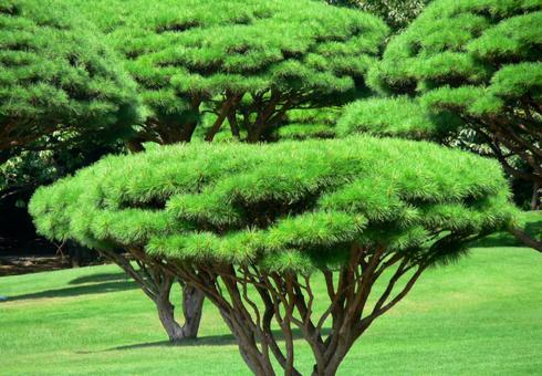 Arranged pine