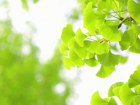 Ginkgo fresh green leaf ginkgo