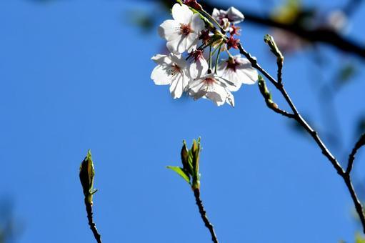 왕 벚꽃 나무의 꽃