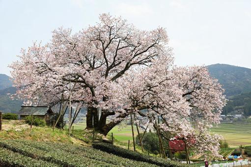 Nandoryo的100年櫻花