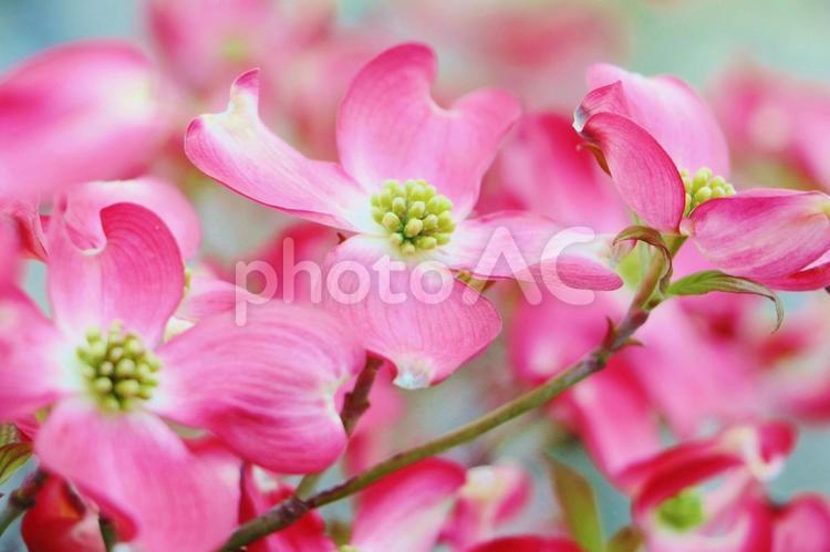 ハナミズキ 花水木の写真