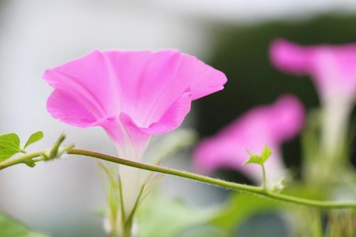 Morning glory pink 2