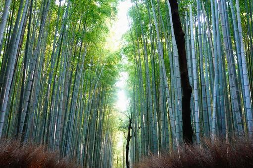 Scenery of Arashiyama, Kyoto Looking up at the small path of the bamboo grove