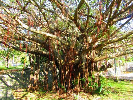 반얀 나무