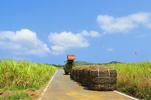 사탕 수수의 수확