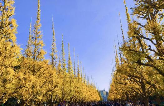 Yellow scenery of ginkgo trees