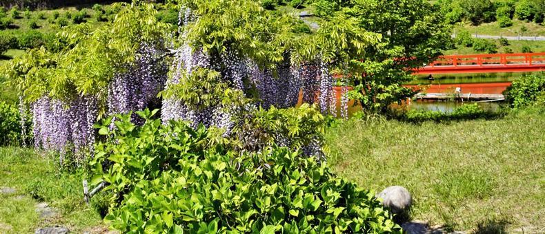 등나무 꽃과 붉은 다리 와이드