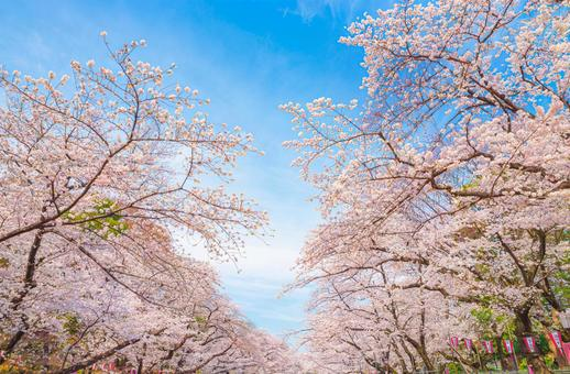 Cherry blossoms in full bloom and blue sky / spring in Ueno Onshi Park