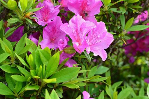 Azalea flowering