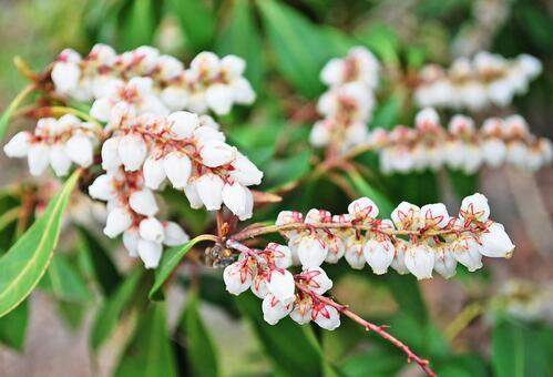 馬酔木 꽃