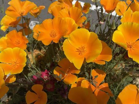 오렌지 꽃 (뽀츄라카)