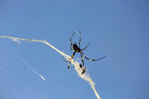 Spider web and blue sky (Kanagawa / Yokohama city)