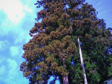 Japanese cedar with pollen