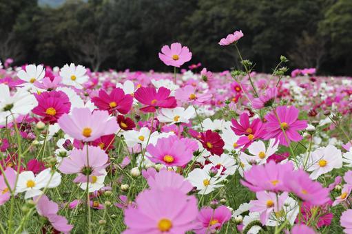 Cosmos in Shimabara Hibari Sanka Park