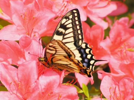 핑크 (진달래) 꽃과 호랑 나비 4