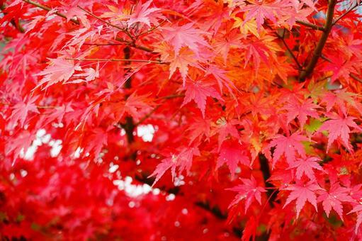 Kyoto Autumn Leaves Maple Komorebi Background