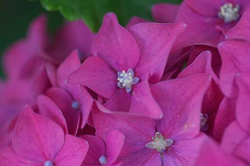 Small flowers of bright red hydrangea