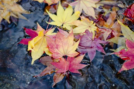 Fallen leaves of a pond 5