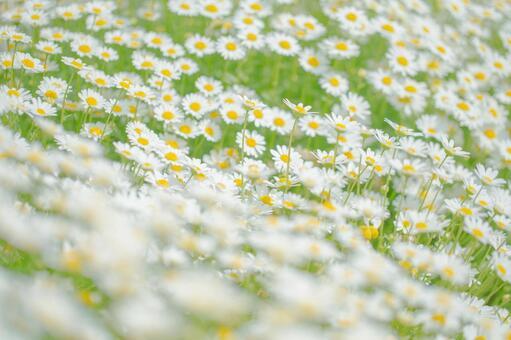 White flowers 9