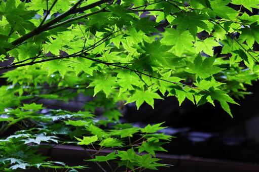 Maple and roof tile of early summer