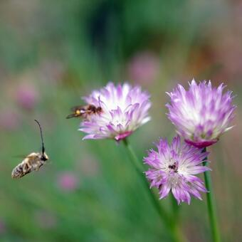 Thistle and bees (square)