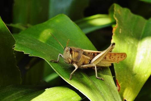 메뚜기의 동료 (각시 메뚜기 성충)