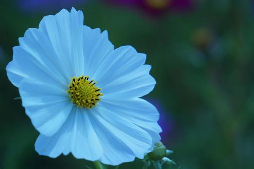 Great white cosmos