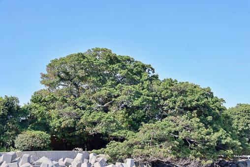 Ficus superba community at Hayasaki Fishing Harbor Kuchinotsucho, Minamishimabara