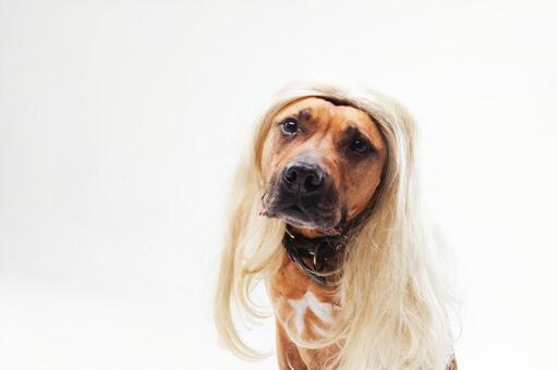 Blonde western dog