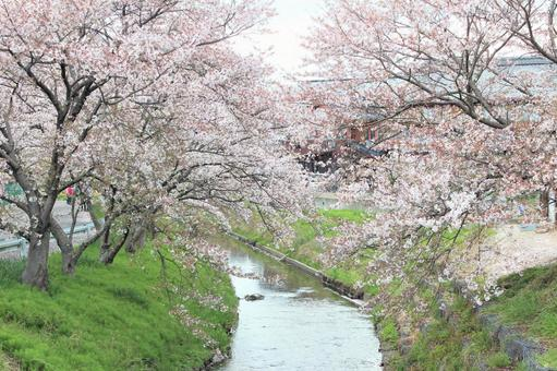 The riverside where cherry blossoms bloom