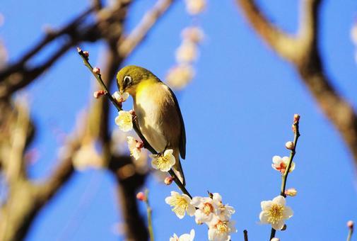 White-eye sucking the nectar of plum blossoms
