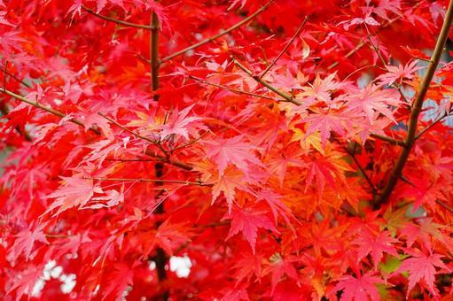 Autumn Kyoto Autumn leaves red maple