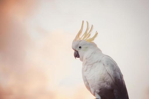 澳大利亞野生鳥類Kibatan英文名稱鳳頭鸚鵡朝日風與橙色天空和雲彩和葡萄酒風