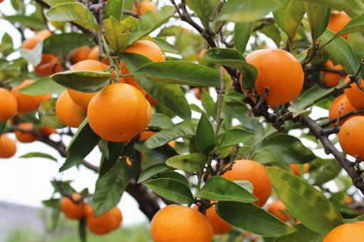 Harvesting oranges 3