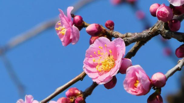 매실과 푸른 하늘과 꽃 봉오리