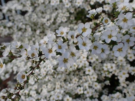 Image of Spiraea thunbergii flower