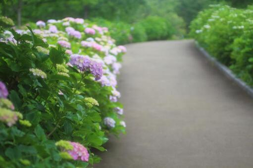 Hydrangea's Path 1