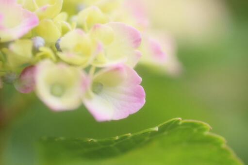 Hydrangea 5 fluffy pink