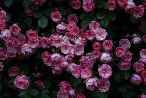A natural rose hedge