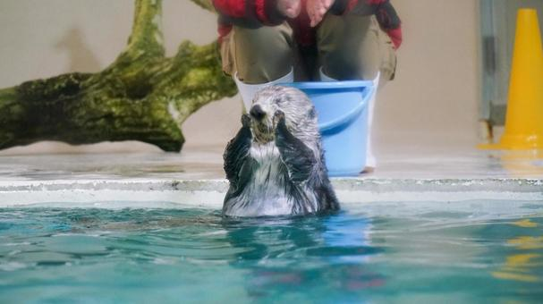 Sea otter with closed eyes