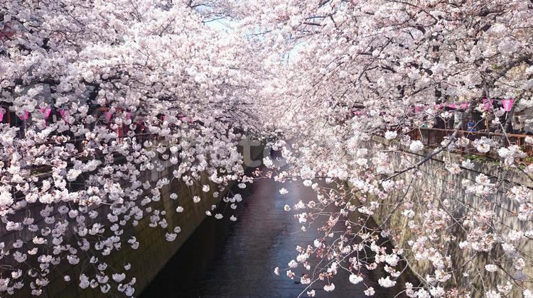 川と桜の写真