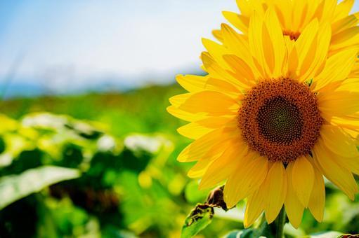 廣告用向日葵