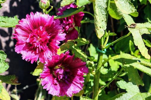 분홍색 꽃 ②