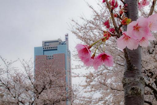 大韓櫻花與群馬縣廳