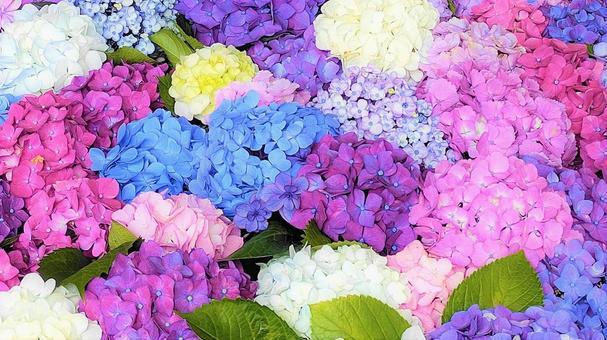 Colorful hydrangea 002