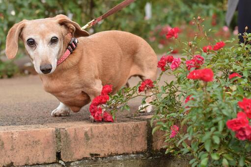赤い薔薇と犬