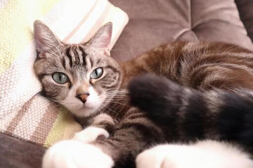 무료하게 바라 보는 호랑이 고양이 귀여운 고양이 사진 고양이 차 호랑이 고양이