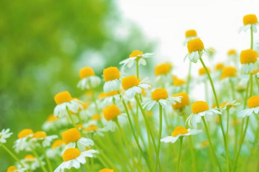 Cute flower chamomile