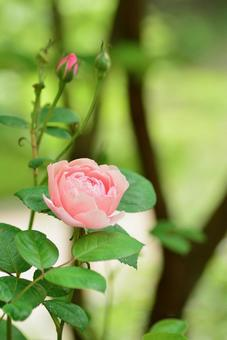 녹색에 빛나는 핑크 장미